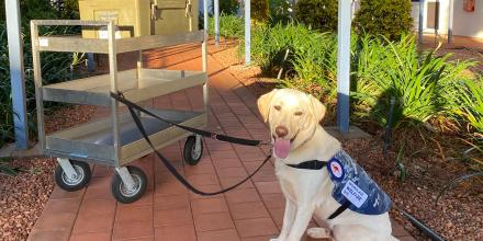 Mac the welfare dog with a trolley of hot boxes at RAAF Base Tindal, NT.